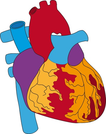 The Illustration of the human heart1 Vector