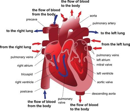 ventricle: Coraz�n humano secci�n transversal del cartel Vectores