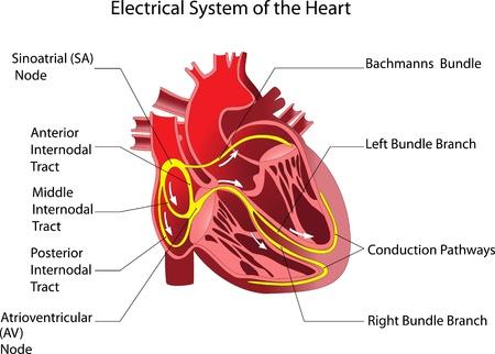 ventricle: El dispositivo es el cartel del coraz�n humano Vectores