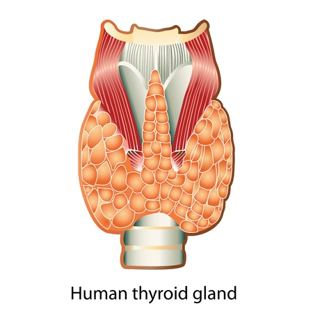 Glándula Tiroides. Anatomía De La Glándula Tiroides. Diagrama ...