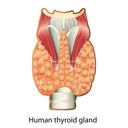 laringe: Anatom�a de la tiroides humana