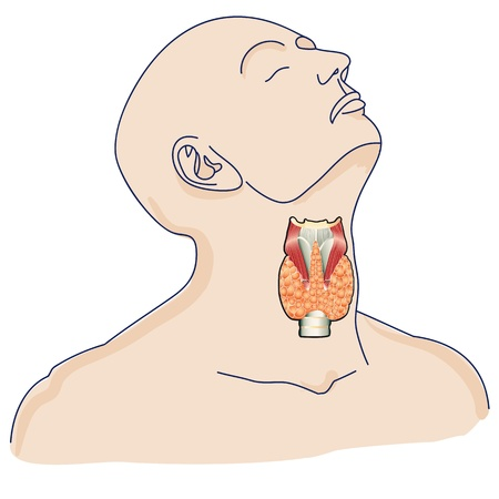 The location of the thyroid gland in the human body.