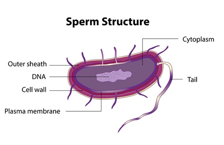 human sperm: The structure of the sperm cell  Medical poster  Illustration