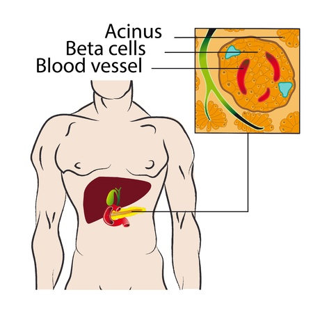 beta cells: Beta-cells of the pancreas that produce insulin