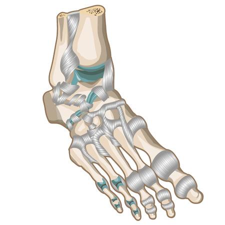 phalanx: Legamenti e le articolazioni del piede