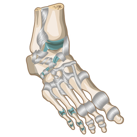 ligaments: Ligaments and joints of the foot