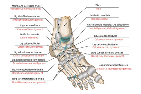 phalanx: Legamenti e le articolazioni del piede umano Vettoriali