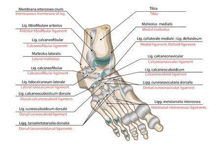 Ligamenten en gewrichten van de menselijke voet Vector Illustratie