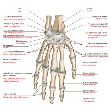 Bones and ligaments of the back side of the hand. Medical poster Vectores