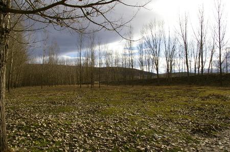 windfalls: Poplar plantations with windfalls leafs in the winter.
