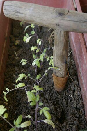seedlings: Tomato seedlings