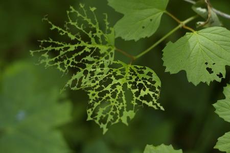 gnaw: Eaten maple leaf