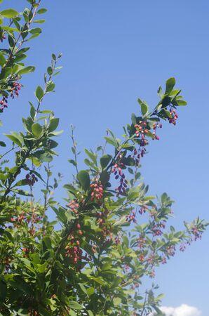 barberry: European barberry tree. Berberis vulgaris