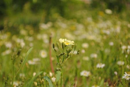 exceeds: loneliness floret, exceeds grassland, Stock Photo