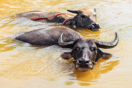 Local Thai Buffaloes are Taking a bath in Swamp photo