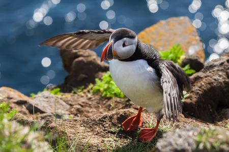 puffins: Cute puffin  flaps wings on the edge of a cliff above the sea