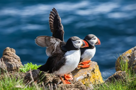 puffins: Two puffins bask in the sun on a cliff above the ocean, Iceland Stock Photo