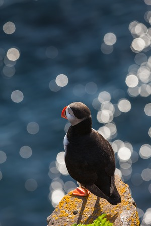 puffins: Bird puffin watching at sea, Iceland Stock Photo