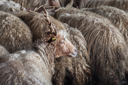 woolly: Flock of woolly sheep on the farm