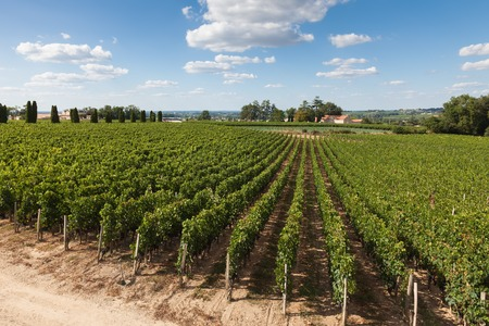 Vineyards of Saint Emilion, Bordeaux in France 版權商用圖片