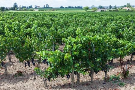 saint emilion: Vineyards of Saint Emilion, Bordeaux in France Stock Photo