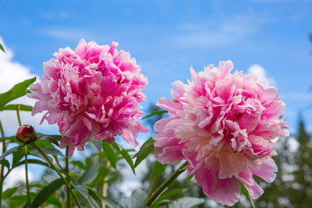 Two large pink peony on blue sky background