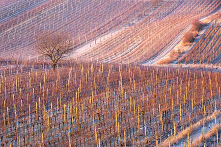 Frost winter rows of vineyards in cold season in South Moravia, Czech. Agriculture landscape with grape vines.