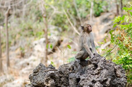 macaque: Macaque Monkey in Thailand Stock Photo