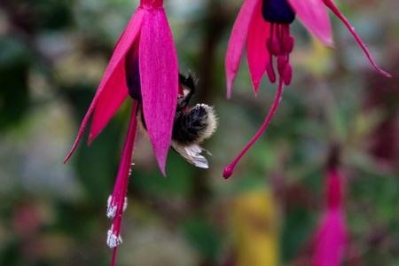bee on flower: Bee in Pink Flower