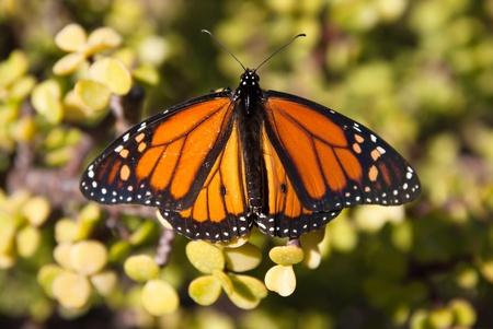 monarch butterfly: Monarch butterfly Stock Photo