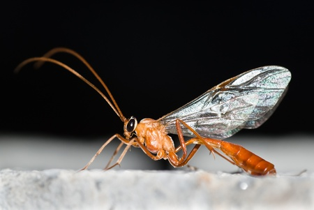 ichneumon wasp closeup photo