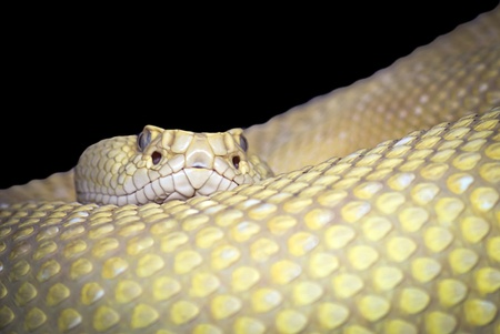 diamond rattlesnake on black background photo