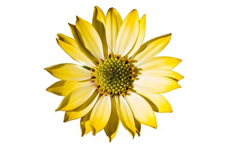yellow flower on white background Stock Photo - 12946072