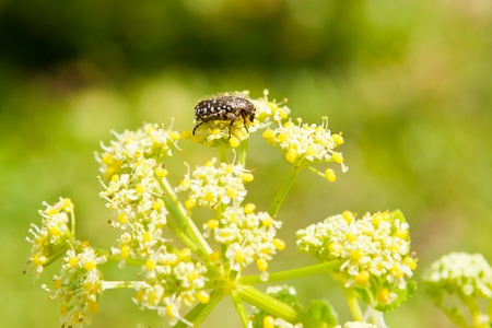 bug in yellow flowers