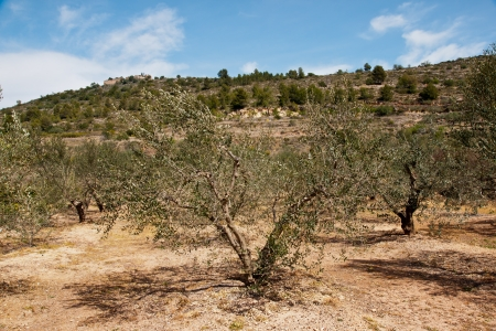 olive trees in the country photo