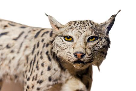 Lynx portrait on white background Stock Photo - 13849771
