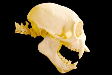 monkey skull on black background