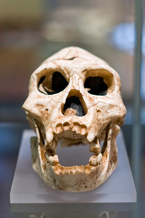 Ancestor human skull  Stock Photo - 14009433