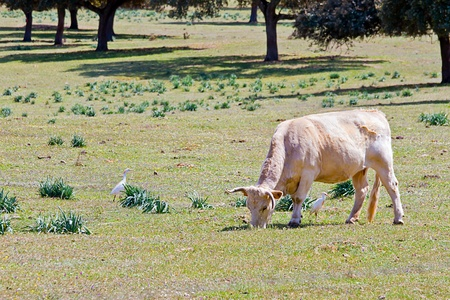 Cow standing on a green meadow  photo