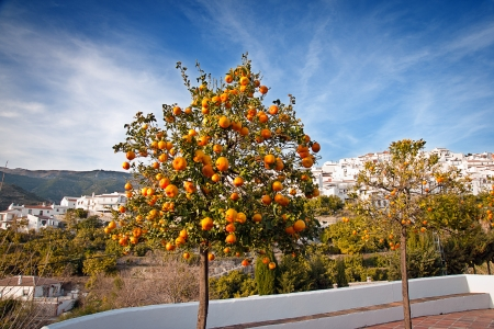 Orange tree in springtime