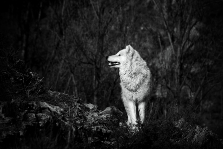 white wolf in bw