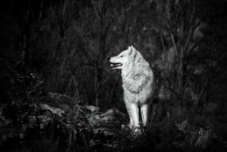 white wolf in bw