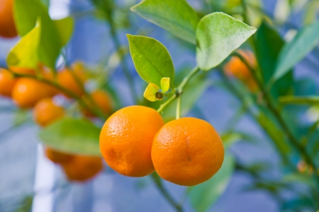 oranges in a tree Stock Photo