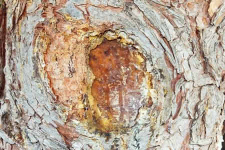 resin: resina de �rbol Foto de archivo