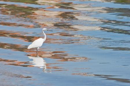 heron in a lake photo