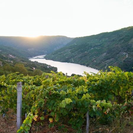 orense: Sil canyon, Ribeira Sacra, Ourense, Galicia, Spain. Vineyards