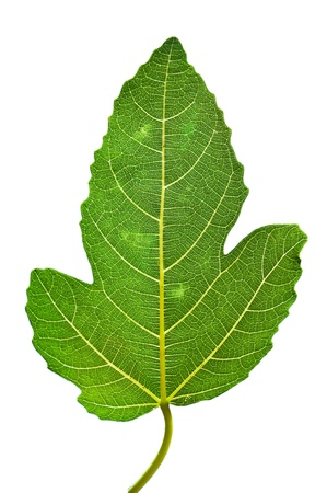 fig leaf on white background photo