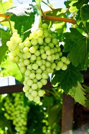 uvas vino: Racimos de uvas de vino Foto de archivo