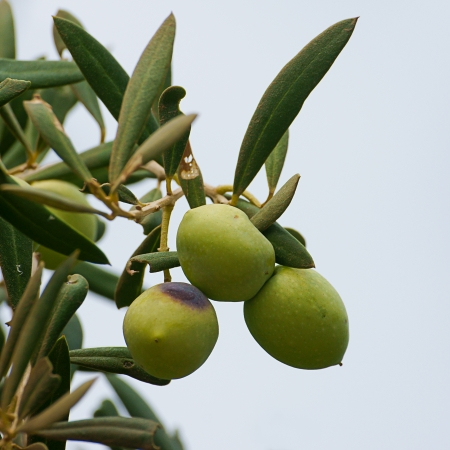 ripe bunch of green olives photo