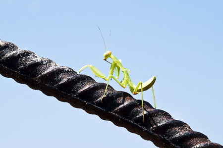 assail: praying mantis